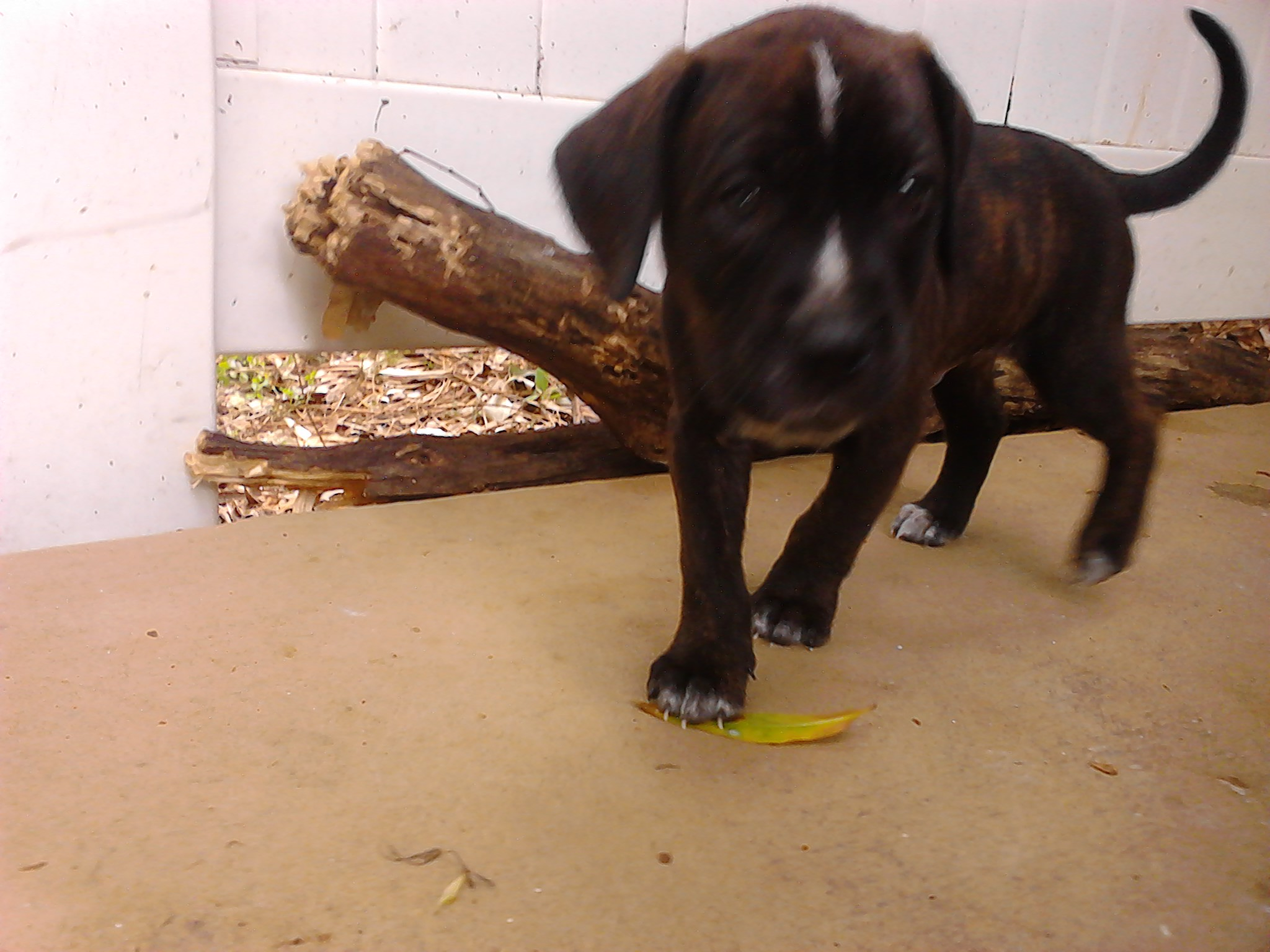 male pit bull puppy
