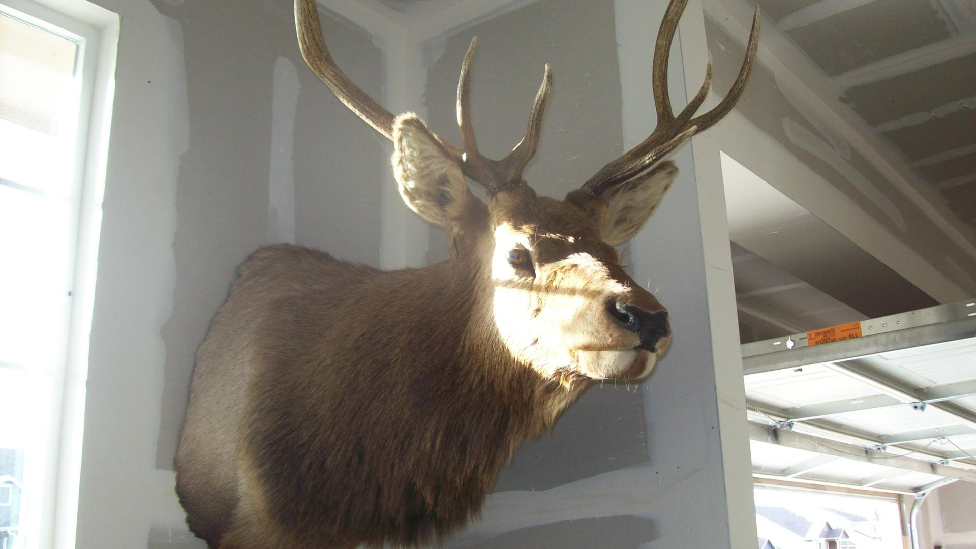 bear rug,elk head,deer, skull snowblades,water tank,snow blade