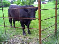4 Bulls for sale