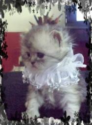 CFA PERSIANS Kittens