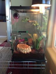 2 Tree frogs with terrarium and all accessories!