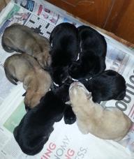 German Shepherd Puppies!