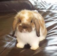 bunny holland lop with cage and supplies $130